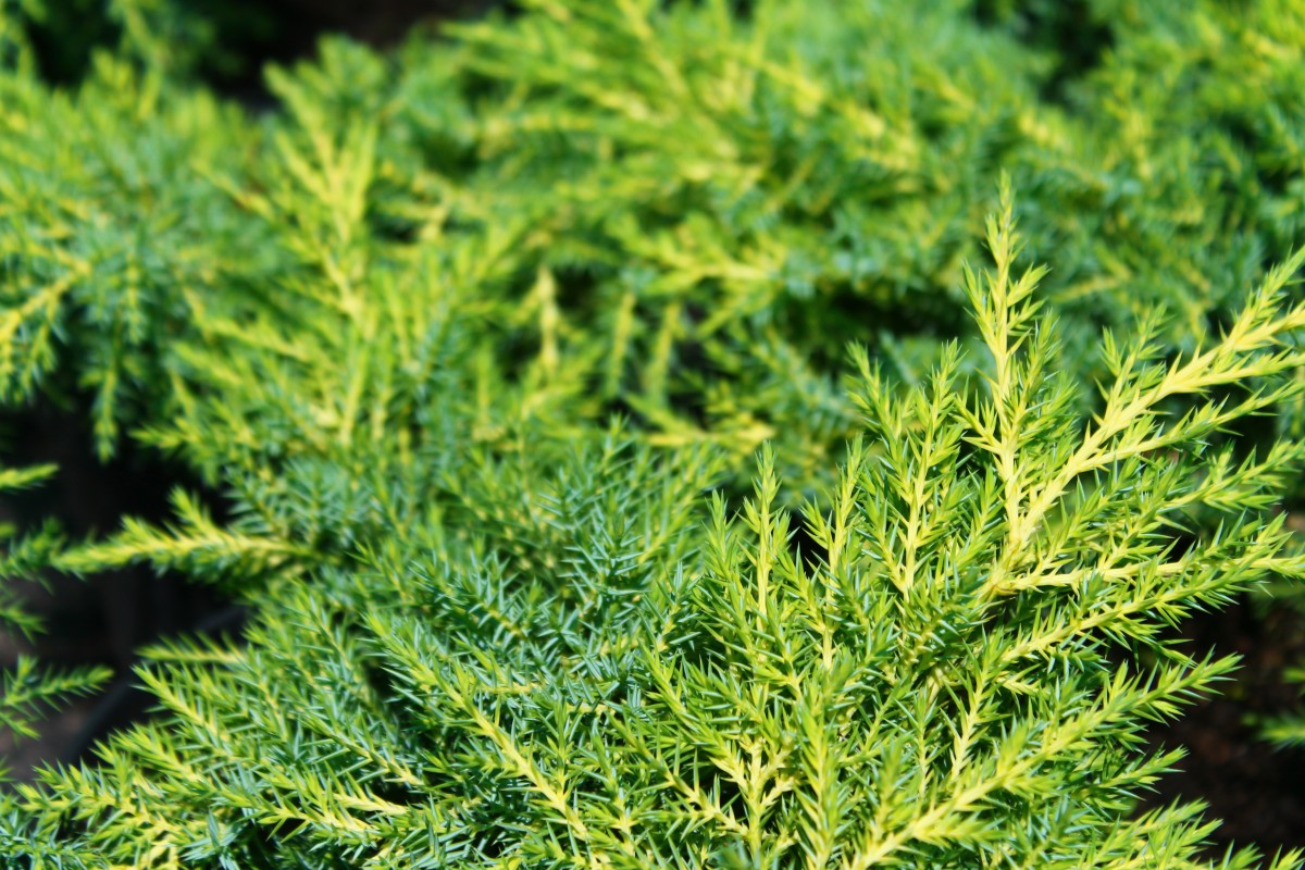 Хвоя можжевельника Juniperus media Gold Star