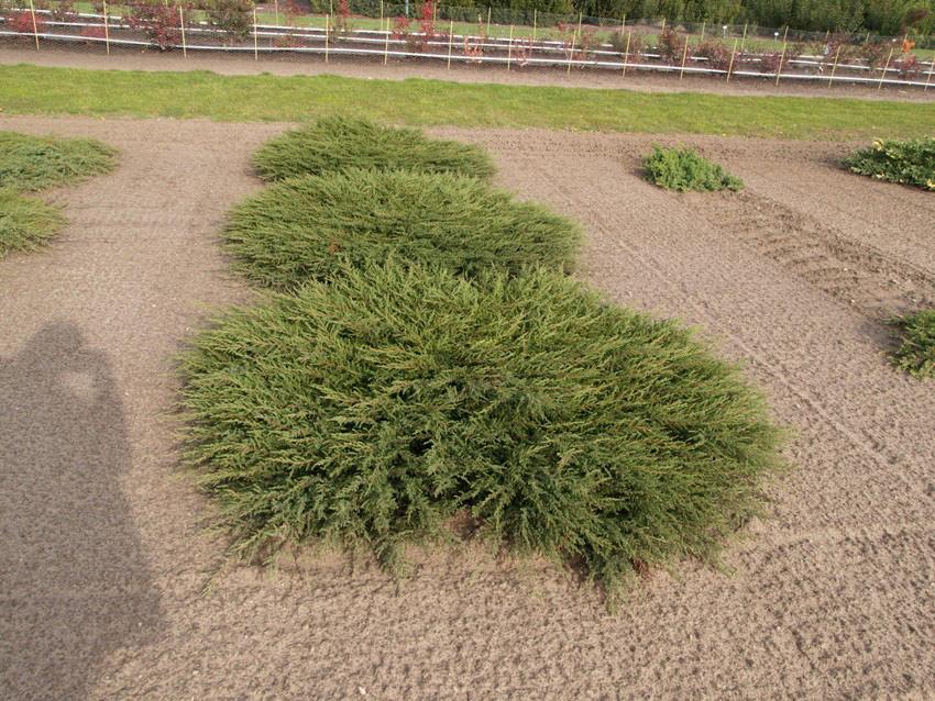 Можжевельник Juniperus communis Repanda