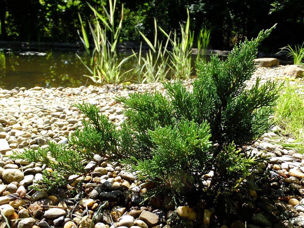 Казацкий можжевельник на берегу реки