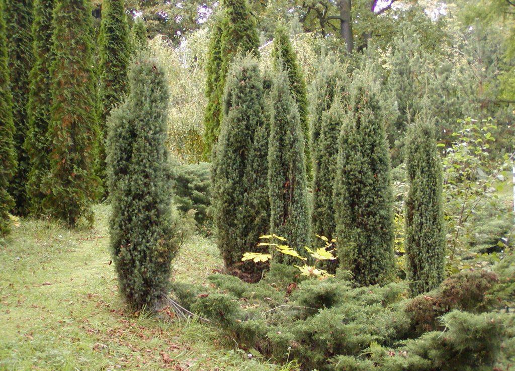 Можжевельник Хиберника в лесу