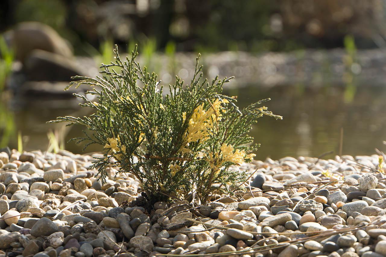 Можжевельник Juniperus sabina Variegata