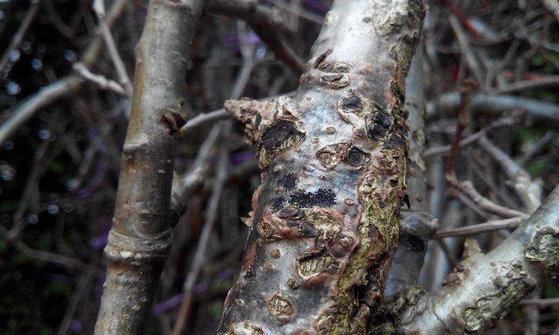 Бактериальный рак растения