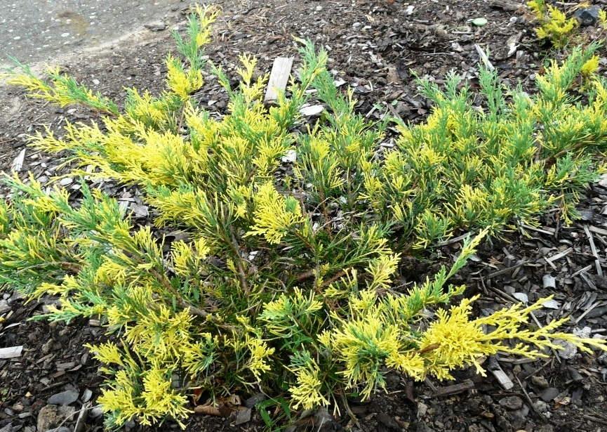Juniperus рfitzeriana Blue and Gold