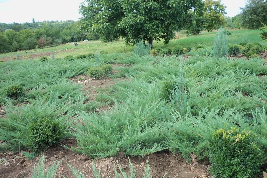 Juniperus sabina Glauca