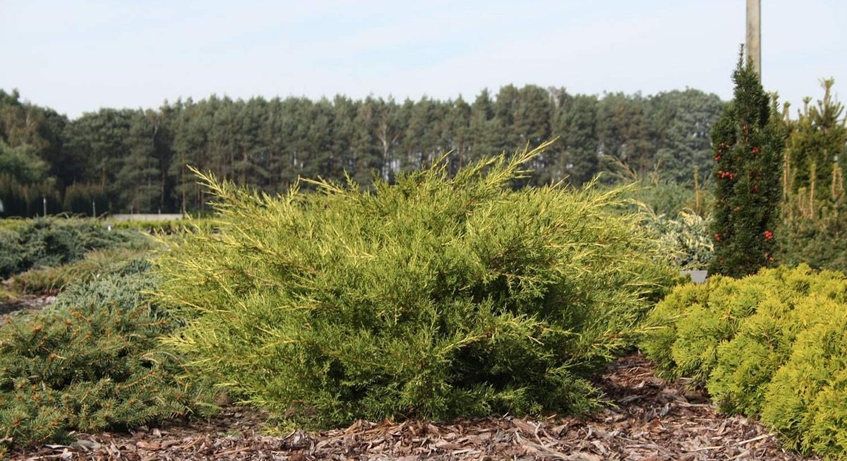 Juniperus chinensis Kuriwao Gold
