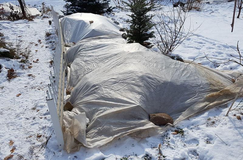 Можжевельник укрытый на зиму