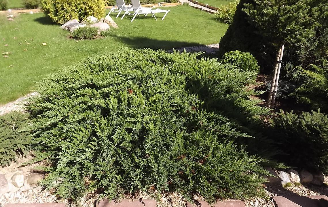 Можжевельник Рокери Джем в саду