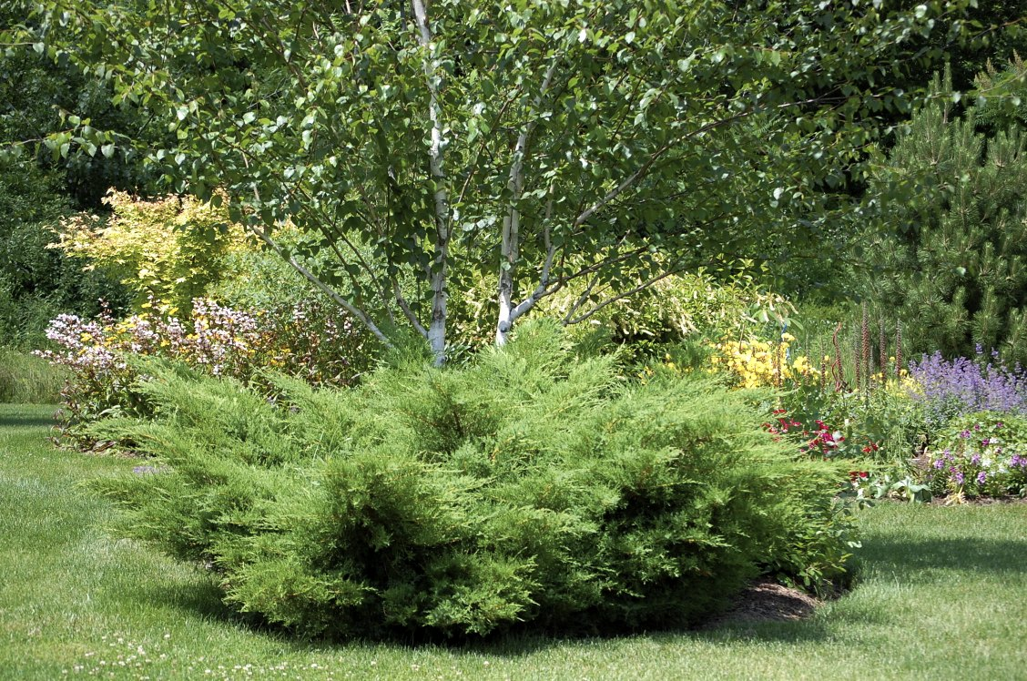 Можжевельник Пфитцериана в саду