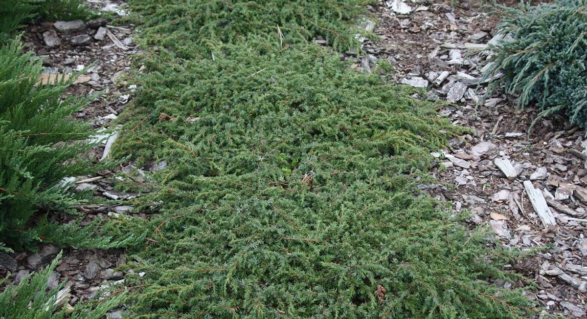 Juniperus horizontalis Agniaszka