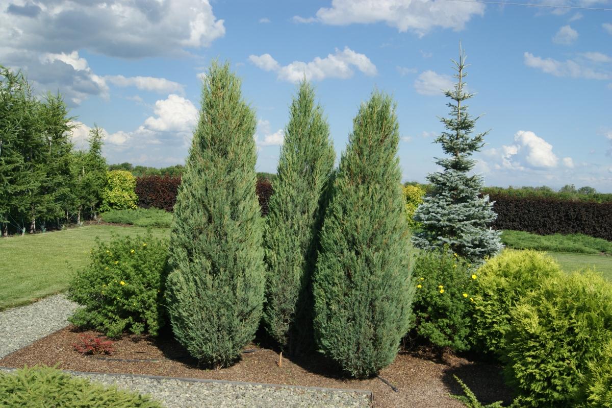 Juniperus scopulorum Fischt