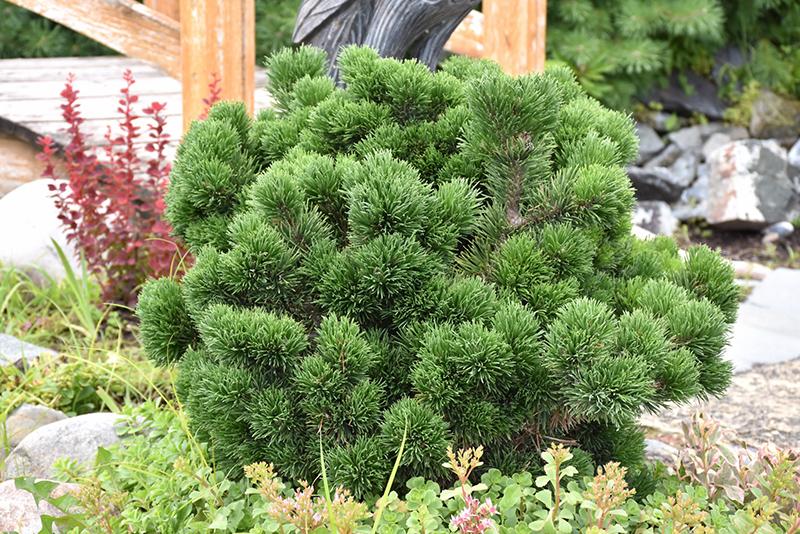 Pinus mugo Jakobsen