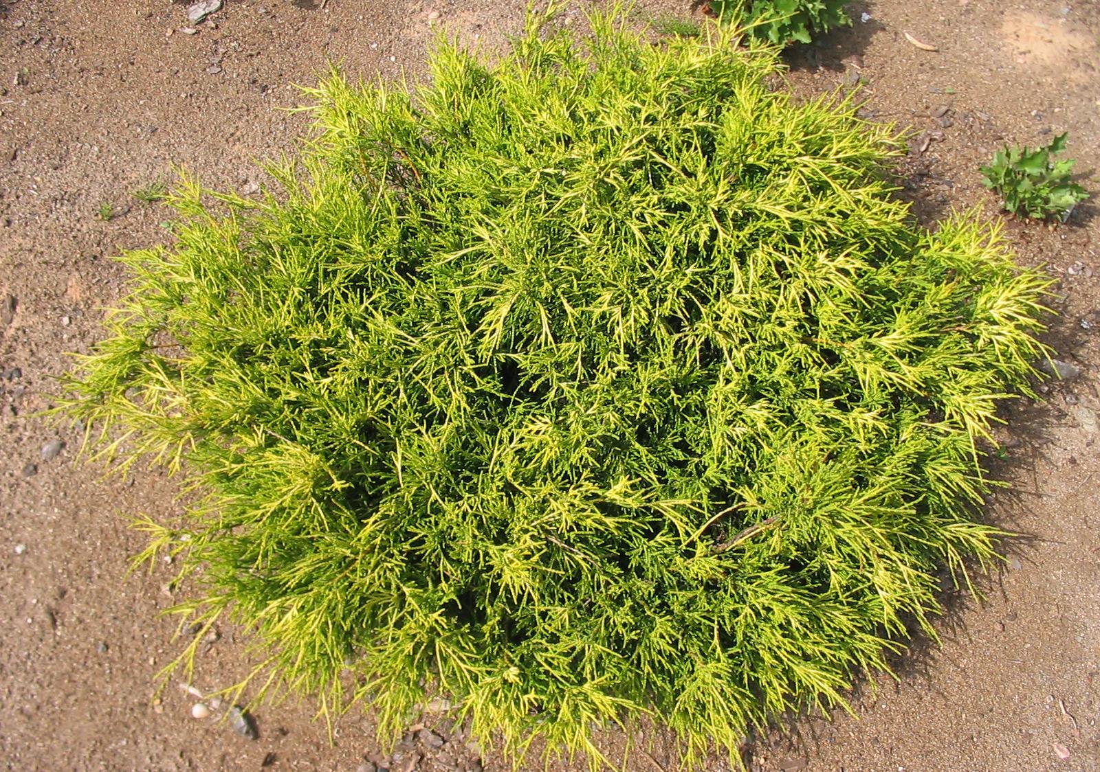 Chamaecyparis pisifera Sangold