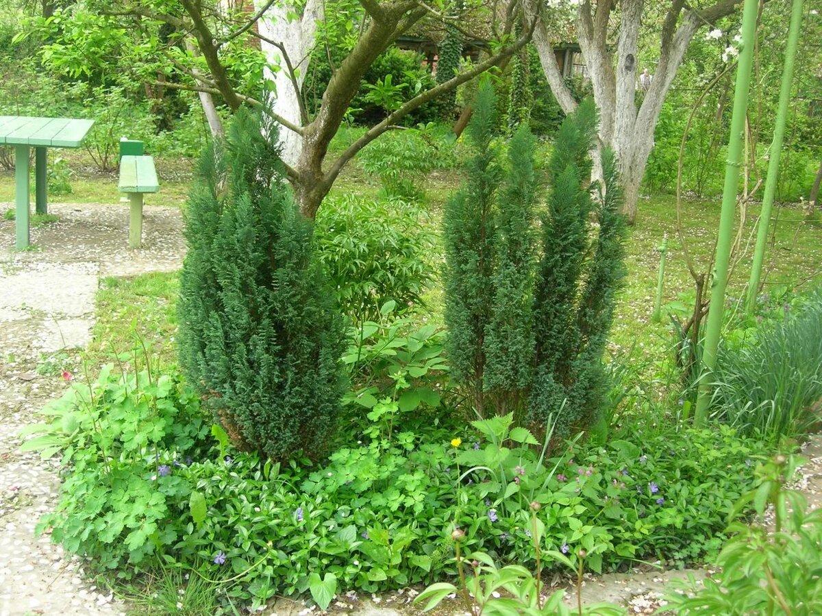 Молодые деревья кипарисовика