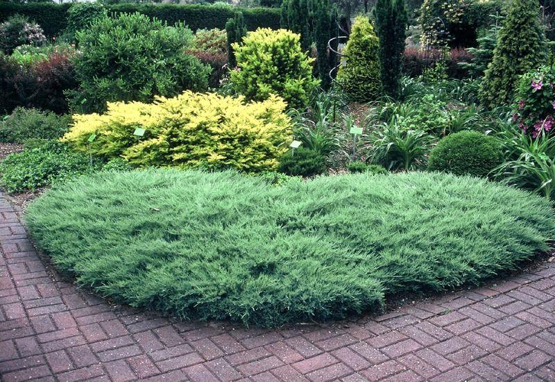 Можжевельник Агнешка в саду