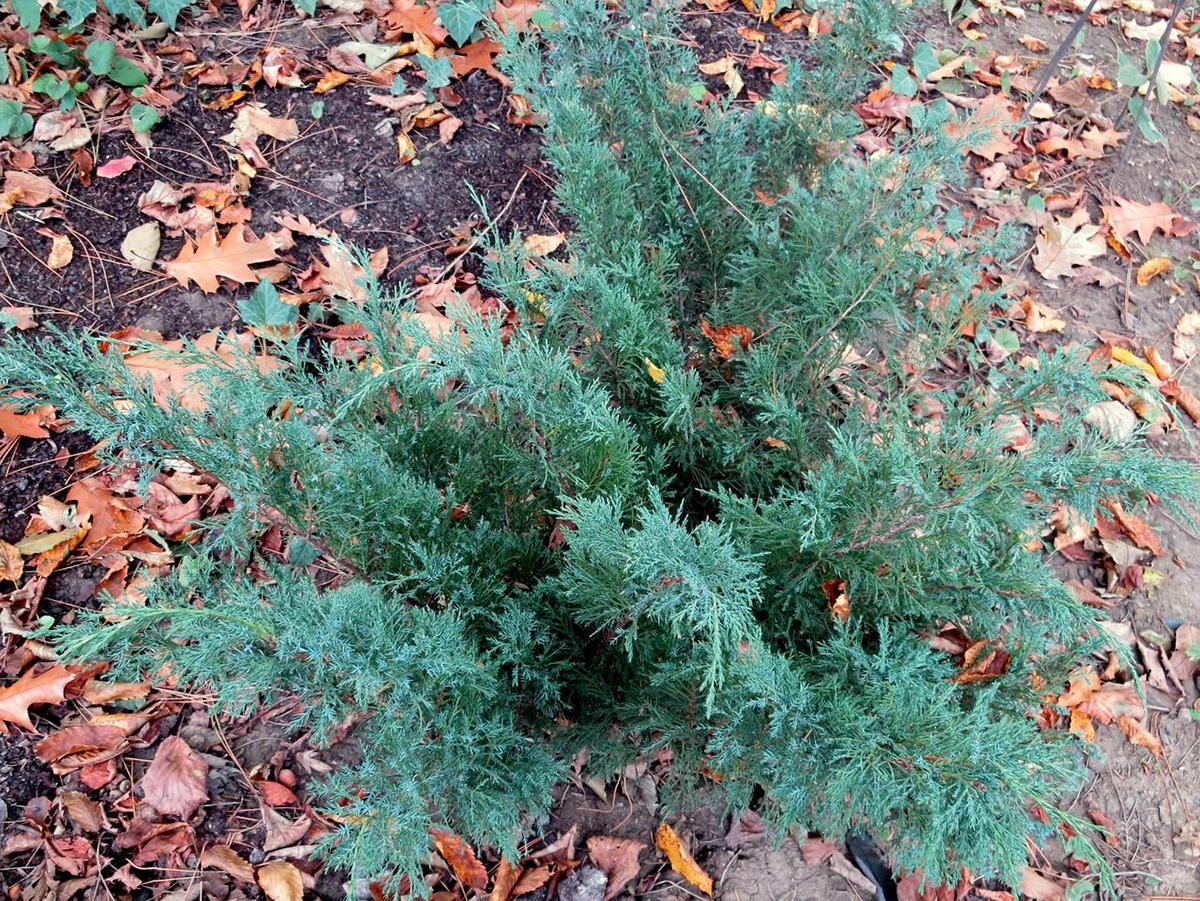 Juniperus x pfitzeriana Glauca