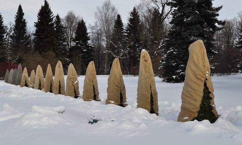 Кипарисовики зимой