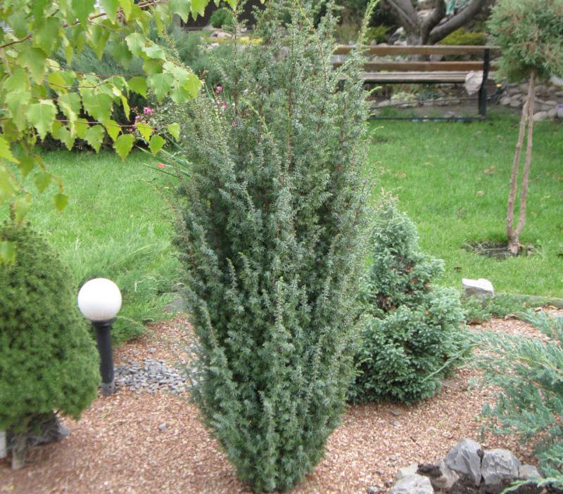 Juniperus communis Sentinel