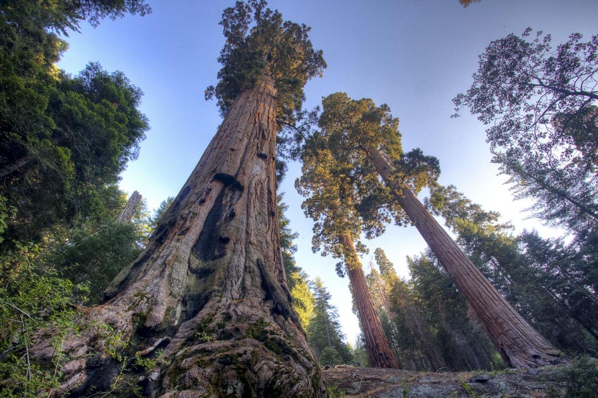 Деревья Секвойи