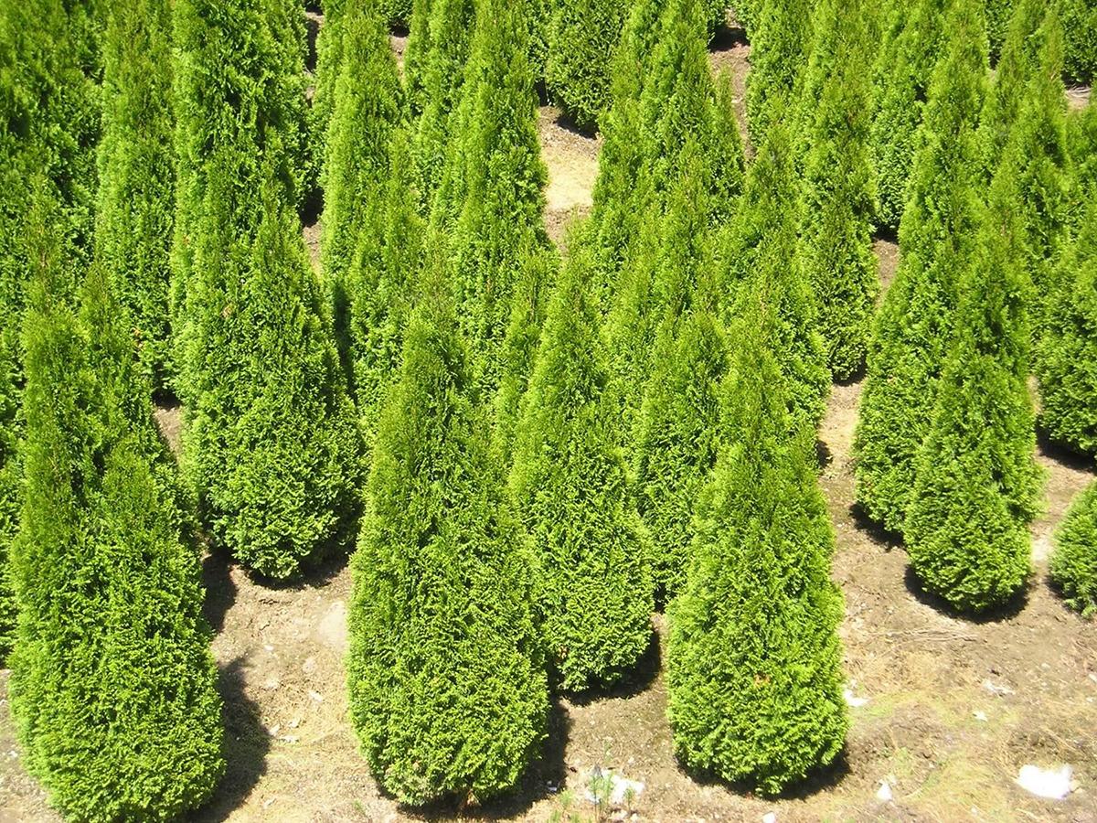 Деревья сорта Смарагд