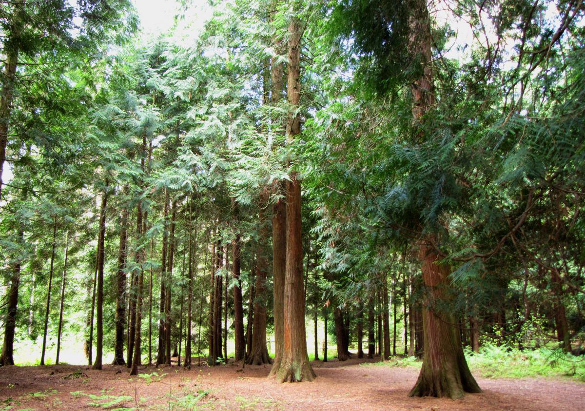 Лесные туи